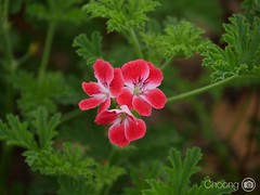 (choong mun) Tags: madeira summer nature trees green leaf red flower outdoor