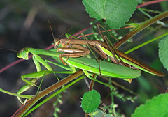When a Mantis loves a Womantis (mishko2007) Tags: percysledge mantis korea 105mmf28