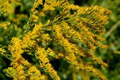 IMG_8823 (bulletproofsoul67) Tags: nature wildflower weed