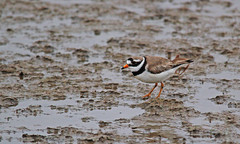 Ringed Plover (David Fryer-Winder) Tags: ringed plover ringedplover water small ring nud plane mudplane muddy grass brown white bird marsh