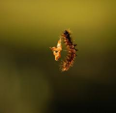 Salome dance (LaLoux) Tags: salome dance veils caterpillar