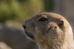 Prairiehond (jeannetbijlsma) Tags: prairiehond lief zoo wildlife dierentuin dier dieren