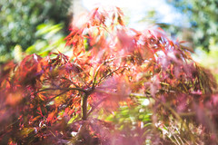 Windy Tree (oandrews) Tags: acer blur canon canon70d canonuk flora garden hoya leaves longexposure motion movement nature nd1000 outdoors plant red tree