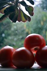 Tomato (graeme37) Tags: tomatoes redtomatoes windowsill crassula