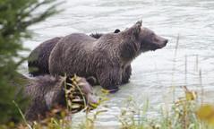 Grizzly Family Fishing Trip (Pete Foley) Tags: grizzlybear fishing alaska salmon nature
