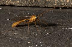 Short-tailed Ichneumon Wasp (Ophion) (anthonyvanschoor) Tags: nikond7100 nikkor1855mmlens shorttailed ichneumon wasp ophion meadowbrookpark ellicottcity howardcountymd