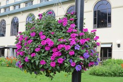 Hanging Basket (Patricia Henschen) Tags: banff banffnationalpark parks parcs canada alberta lakelouise thefairmont chateaulakelouise hotel lake clouds mountains canadian rockies northern rockymountains flower basket hanging lakeshore trail