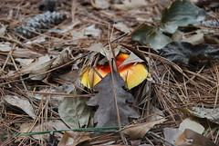 Morning walk in Goose Creek (damack1) Tags: fungus mushroom toadstool south carolina fungi goose creek charleston