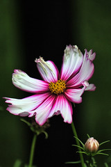 The End is Near (Brian 104) Tags: cosmos flower dying pink white