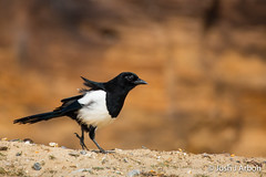 IMG_2871 (JoshArbon) Tags: nature spring wildlife bird black corvid inquisitive magpie minsmere pica picapica rspb suffolk white