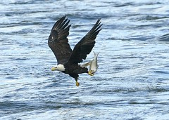 Eagle with a fish (snooker2009) Tags: fish bird nature eagle wildlife flight bald dailynaturetnc12 photoofthedaynwf12