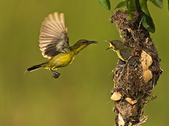 Olive Backed Sunbird - Female (Sijanto) Tags: natureselegantshots panoramafotogrfico mygearandme mygearandmepremium mygearandmebronze mygearandmesilver mygearandmegold mygearandmeplatinum mygearandmediamond hennysanimals flickrstruereflection2 flickrstruereflection3 flickrstruereflection4 flickrstruereflectionlevel1 highqualityanimals magicmomentsinyourlifelevel1 flickrstruereflectionlevel4 onlythebestofflickr