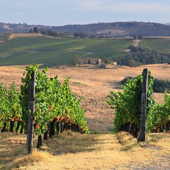 The rolling Chianti hills of Tuscany (Bn) Tags: red summer italy sun sunlight holiday colour green leaves florence topf50 cherries strada italia berries bright wine small grow dry visit hills vineyards tuscany grapes chianti fields strong farms wildflowers siena taste roads radda product toscane region plums fruity greve produced rubby vino flourish discover wijn bottling sangiovese cellars cultivated classico castellina hillsides harmonious 50faves