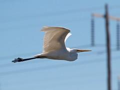 Watch the power lines (Geoff Main) Tags: bird australia act greategret canonef100400f4556lisusm canon7d jarramleeponddunlop