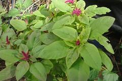 amaranth (various Amaranthus species)