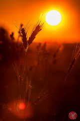 Sunny morning (Kasia Sokulska (KasiaBasic)) Tags: sun canada macro sunrise wheat meadow september alberta