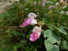 P1200884 (RRT:D*:D*) Tags: flowers italy flower waterfall waterfalls fiori fiore cascate cascata cittiglio rrtdd