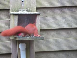 Eichhörnchen, NGIDn2131870898