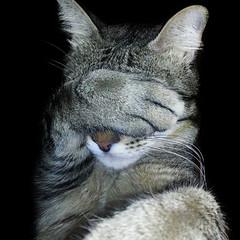 Facepalm (Esparkling) Tags: gato felino mascota gracioso facepalm postura fondonegro cuadradado esparkling thepinnaclehof kanchenjungachallengewinner tphofweek168