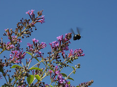 BEE (PamiKnows) Tags: sky nature insect flying action alabama bee sept efs butterflybush 2012 gadsden couryard canon40d