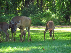 """""""Hey Mom...I could use a little help here.  I can't get one foot in front of the other!"""" (cheroberta123) Tags: cute nature michigan doe deer fawn kensington kensingtonmetropark cheroberta123"""