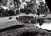 * (Timoleon Vieta II) Tags: summer portrait bw lake landscape cow thirst timoleon