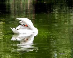 1209_caldas_0021 (Miguel Tavares Cardoso) Tags: portugal swan aves cisne migueltavarescardoso