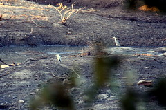 Night Heron/Grey Heron - Wayside Ranch (pjah73) Tags: africa southafrica botswana greyheron bushveld nightheron rovosrail waysideranch pjah73