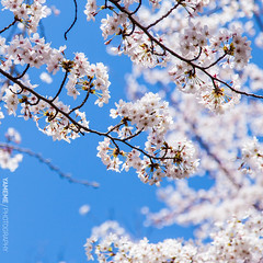 ... Tokyo Memory / Tokyo, Japan (yameme) Tags: travel flowers nature japan canon eos tokyo bokeh  sakura shinagawa cherryblossoms   meguro   24105mmlis   5dmarkii 5d2