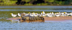 Caiman and large-billed terns (Tambako the Jaguar) Tags: wild brazil white nature water birds river island sand nikon many reptile wildlife group wildanimal caiman matogrosso pantanal d4 terns portojofre largebilledterns