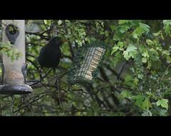 Blackbird feeding (Rovers number 9) Tags: uk autumn tree bird nature birds minolta bokeh wildlife sony september blackbird 2012 a65 minoltaaf100200f45 bkhq sept2012 sonya65