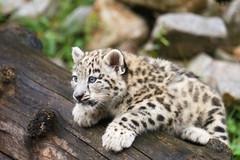 climbing (Cloudtail the Snow Leopard) Tags: zoo karlsruhe schneeleopard snowleopard irbis panthera uncia cat katze bigcat groskatze raubkatze jungtier kätzchen wurf kitten litter cub flickrbigcats cloudtailthesnowleopard