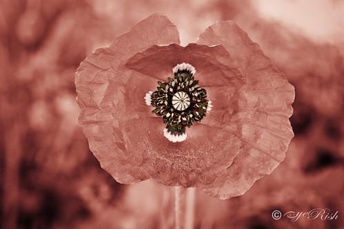 eyeRish-FlowerBud