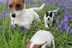 Puppies & Flowers (dmannock) Tags: flowers dogs field grass animals bluebells canon puppies canine running depthoffield jackrussell handheld wideopen frozenmoment 600d freezemotion