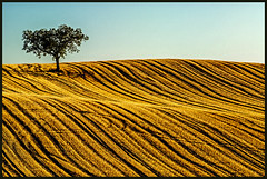 Waves (shlomo2000) Tags: autumn summer france tree field landscape gold golden evening nikon frankreich mood harvest feld straw wave structure colourful d200 baum textured champ stroh ernte paille wellen bl gers samatan midipyrnes monblanc rcolte crales