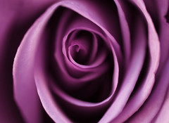 Purple Rose (j man ) Tags: life lighting friends light flower color macro art texture nature floral colors beautiful field rose closeup lens photography illinois cool flickr dof purple blossom pov unique background sony details extreme favorites 11 structure pointofview sp ii views di if rolls f2 closeness tamron depth centered folds comments ld jman a300 af60mm mygearandme mygearandmepremium flickrbronzetrophygroup