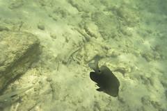 DSC09276 (andrewlorenzlong) Tags: fish thailand snorkeling kohchang kohrang kohrangyai korangyai