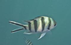 DSC09195 (andrewlorenzlong) Tags: fish thailand snorkeling kohchang kohrang kohrangyai korangyai