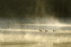 Waking up (Gies!) Tags: morning light mist lake fog licht pond meer ducks eenden ochtendlicht thegalaxy flickraward mygearandme mygearandmepremium mygearandmebronze mygearandmesilver mygearandmegold mygearandmeplatinum mygearandmediamond ringexcellence