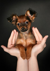 Cute puppy on hand (Pet-Boy) Tags: portrait blackandwhite dog pet pets white black cute love dogs nature animal animals portraits puppy photography photo puppies friend photos picture images pup