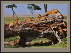 The Lazy Lion Log! (best original) (Rainbirder) Tags: masaimara africanlion pantheraleo rainbirder