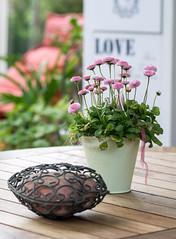 LOVE (Eklis273) Tags: flower blume gnseblmchen daisy herz heart love liebe pink grn green terrasse terrace holz wood sonya6000 samyang