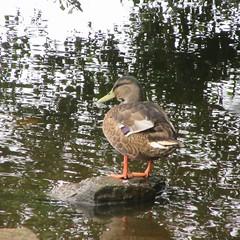 Drumpellier Loch (rbjag71) Tags: drumpellier loch duck lake lanarkshire bird