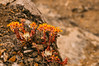 20090719-00960.jpg (tristanloper) Tags: california pacifichighway dudleya thewest tristanloper creativecommons free