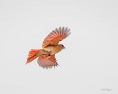 FEMALE CARDINAL-0145 (billangel77) Tags: female cardinal