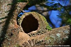 Casa do Joo de Barro (adaltoncostaphotographer) Tags: joaodebarro casadebarro barro cassa passaro ave floresta moradia serto