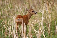 A fleeting glimpse (Claudia G. Kukulka) Tags: roedeer reh capreoluscapreolus deer field feld animal tier