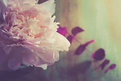 Isn`t she lovely (RoCafe) Tags: pink stilllife flower soft pastels peonie nikond600 nikkormicro105f28
