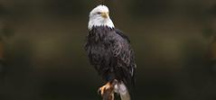 Pride (Mel's Looking Glass) Tags: bald eagle bird portrait birdofprey post brench
