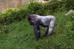 Gorilla (Rini Fotografie) Tags: apen gorilla dieren natuur westelijkelaaglandgorilla rotterdam zuidholland nederland nl bokito